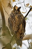 Long eared Owl (Asio otus) on a branch, France
