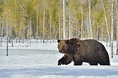 Ours brun (Ursus arctos) marchant dans la neige, Finlande