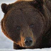 Ours brun (Ursus arctos) portrait, Finlande