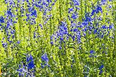 Veronica austriaca ssp. teucrium 'Royal Blue'
