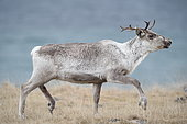 Reindeer (Rangifer tarandus) in tundra, Norway