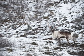 Reindeer (Rangifer tarandus) in snow, Norway