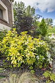 Mexican orange tree (Choisya ternata) in bloom in a garden, spring, Pas de Calais, France
