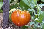 Tomatoes 'Coeur de boeuf' in an organic garden, summer, Moselle, France