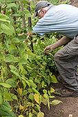 Harvest of green beans 'Allegria' in a kitchen garden, summer, Moselle, France