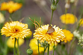 American Copper Butterfly (Lycaena phlaeas) on a Gerbera flower, summer, Moselle, France