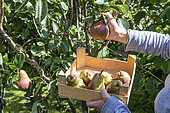 Red 'Williams' pear picking in an orchard in summer, Pas-de-Calais, France