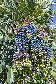 Hollyleaved barberry (Mahonia aquifolium) in fruit, Ille-et-Vilaine, Brittany, France
