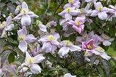 Anemone Clematis (Clematis montana) blooming in a spring garden, Pas de Calais, France