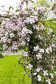 Anemone Clematis (Clematis montana) blooming on an arbor in a spring garden, Pas de Calais, France