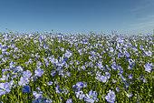 Cultivated flax (Linum usitatissimum) field in bloom, Escalles, Hauts de France, France