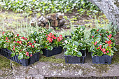 Begonia (Begonia sp) in pots before planting in spring, Moselle, France