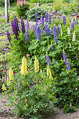 Marsh lupine (Lupinus polyphyllus) in bloom in a garden in spring, Moselle, France