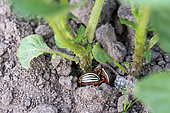 Colorado beetle (Leptinotarsa decemlineata), in the ground at the foot of a potato plant, vegetable garden, Moselle, France
