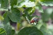 Colorado beetle (Leptinotarsa decemlineata), on a potato leaf, vegetable garden, Moselle, France