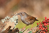 Dunnock (Prunella modularis) adult on a stump near the cotonéasters winter in search of food, Finistère, France