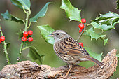 Dunnock (Prunella modularis) adult on a stump among winter holly berries in search of food, Finistère, France
