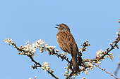 Dunnock (Prunella modularis )male singing in a blackthorn in bloom in spring, Finistère France