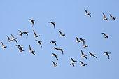 Vol de Bernaches cravants (Branta bernicla) adultes en hivernage à marée haute, Finistère, France
