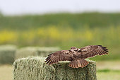 Common Buzzard (Buteo buteo) adult landing on a haystack looking for rodents, Vendée, France
