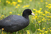 Common Coot (Fulica atra) adult in the butter cups at the edge of a pond, Vendée, France