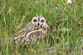 Short-eared owl (Asio flammeus) adult resting in herbs observing, Vendee, France