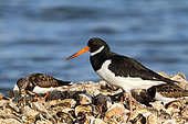 Eurasian Oystercatcher (Haematopus ostralegus) 1st summer, prospecting on a bench of oysters with Ruddy Turnstone (Arenaria interpres), Finistère, France