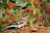 Chaffinch (Fringilla coelebs) adult male in the Cotoneasters winter in search of food, Finistère, France