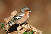 Chaffinch (Fringilla coelebs) adult male on a winter stump in search of food, Finistère, France