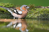 Chaffinch (Fringilla coelebs) male adult mate coming to drink at the pond, Finistère, France