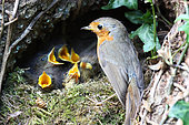 European robin (Erithacus rubecula) adult near its nest under a trunk young open beaks begging, Finistère, France