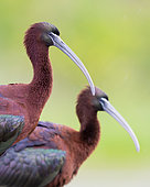 Glossy Ibis (Plegadis falcinellus), close-up of two adults, Campania, Italy