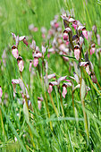 Tongue-Orchid (Serapias lingua) in a grassy meadow, Entre-deux-Mers, New Aquitaine, France.
