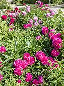 Paeonia lactiflora 'Felix Supreme' Breeder : Kreek 1955