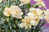 Dianthus caryophyllus 'SuperTrouper Luna'