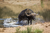 African buffalo Syncerus caffer attacked by Nil crocodile (Crocodylus niloticus) in Kruger National park, South Africa