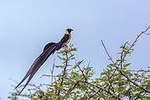 Veuve de paradis (Vidua paradisaea) sur une branche, Parc national Kruger, Afrique du Sud