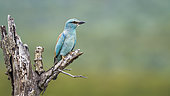 European Roller (Coracias garrulus) isolated in blur background in Kruger National park, South Africa