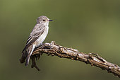 Spotted Flycatcher (Muscicapa striata) isoalted in natural background in Kruger National park, South Africa