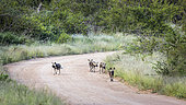 Small group of African wild dog (Lycaon pictus) moving on gravel road in Kruger National park, South Africa