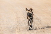 African wild dog (Lycaon pictus) moving on gravel road in Kruger National park, South Africa