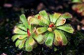 Floating sundew (Drosera admirabilis)