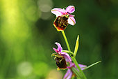 Late spider orchid (Ophrys fuciflora), Illfurth, Haut-Rhin, Alsace, France