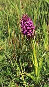 Early marsh-orchid (Dactylorhiza incarnata subsp. incarnata), Illfurth, Haut-Rhin, Alsace, France