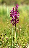 Loose-flowered Orchid (Anacamptis laxiflora), Guidel, Morbihan, Bretagne, France