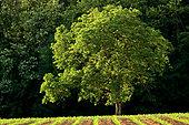 Common Walnut (Juglans regia), Tagolsheim, Haut-Rhin, Alsace, France