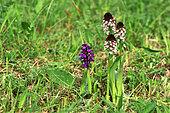 Burnt orchid (Neotinea ustulata subsp. ustulata), Illfurth, Haut-Rhin, Alsace, France