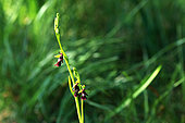 Fly orchid (Ophrys insectifera), Illfurth, Haut-Rhin, Alsace, France