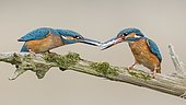 Common kingfisher (Alcedo atthis), couple giving the fish as a bridal gift, Biosphere Reserve Mittelelbe, Saxony-Anhalt, Germany, Europe