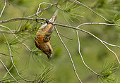 Crossbill (Loxia curvirostra) perched on a branch, Spain